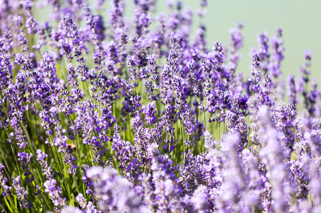 lavender-01